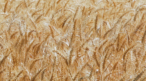 V0214 Heads of golden wheat before harvesting on a farm - Stock Video
