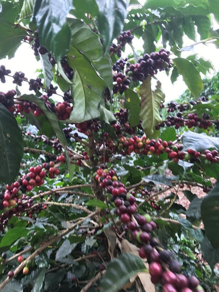 Brazilian Fazenda Sao Lucas - Well Roasted Coffee