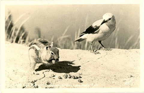 Crater Lake National Park Oregon Chipmunk & Bird RPPC Vintage Postcard signed SAWYER - Vintage Postcard Boutique