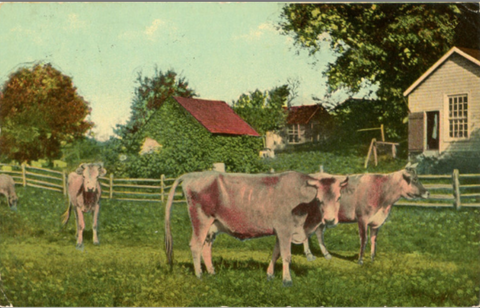 Cows on Iowa Farm in Pasture Vintage Postcard 1912 - Vintage Postcard Boutique