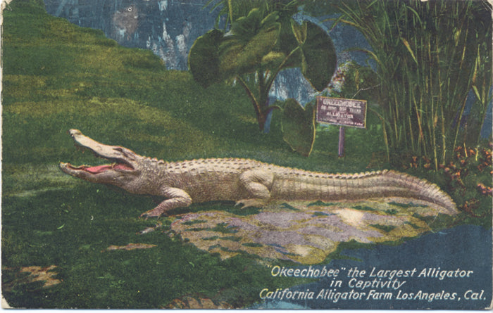 Okeechobee Largest Alligator Captivity Los Angeles California Vintage Postcard 1920 - Vintage Postcard Boutique