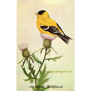 American Goldfinch State Bird of New Jersey Vintage Bird Postcard SIGNED Richard P. Gnossenheider (unused) - Vintage Postcard Boutique