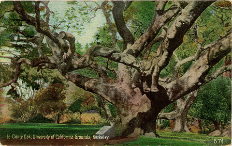 Berkeley University of California Le Conte Oak Tree Vintage Postcard 1927 - Vintage Postcard Boutique