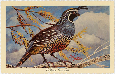 California State Bird - California Valley Quail Vintage Postcard Signed Artist Ken Haag (unused) - Vintage Postcard Boutique