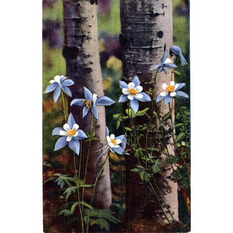 Columbines & Aspens Colorado State Flower Vintage Postcard (unused) - Vintage Postcard Boutique