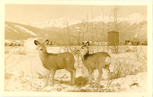 Jasper National Park Canada Deer Pair RPPC Vintage Postcard (unused) - Vintage Postcard Boutique