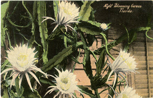 Night Blooming Gereus Florida Vintage Botanical Postcard (unused) - Vintage Postcard Boutique