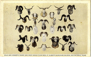 San Antonio Texas Albert's Buckhorn Saloon Sheep Goat Heads Vintage Postcard (unused) - Vintage Postcard Boutique