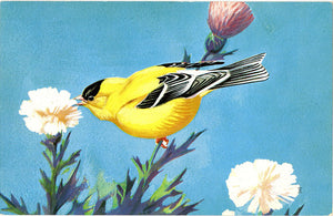 American Goldfinch National Wildlife Federation Songbird Series Vintage Bird Postcard
