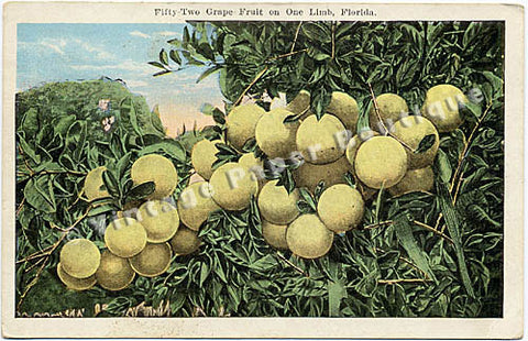 52 Florida Grape Fruit Vintage Postcard circa 1920 - Vintage Postcard Boutique