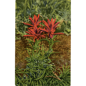 Indian Paintbrush Flower of Foothills & Prairies Botanical Vintage Postcard 1953