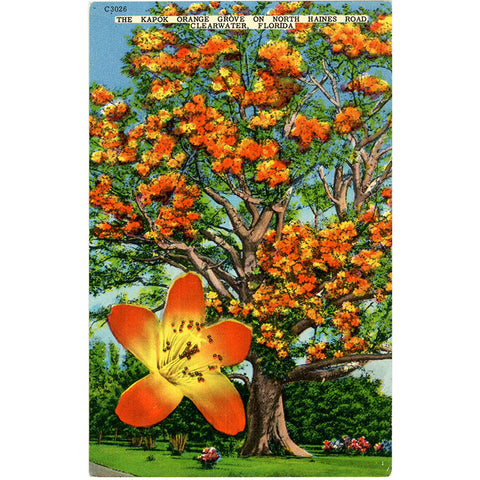 Clearwater Florida Kapok Orange Grove Vintage Postcard (unused) - Vintage Postcard Boutique
