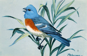 Lazuli Bunting Vintage Bird Postcard National Wildlife Federation Songbird Series SIGNED Peterson - Vintage Postcard Boutique