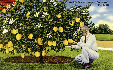 Winter Haven Florida World's Largest Ponderosa Lemons Vintage Botanical Postcard (unused)