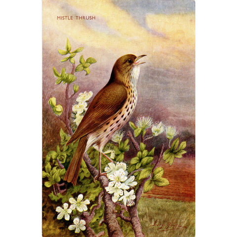 Mistle Thrush Bird Vintage Postcard SIGNED George Rankin (unused) - Vintage Postcard Boutique