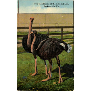 Jacksonville Florida Ostrich Farm Sweethearts Vintage Postcard (unused) - Vintage Postcard Boutique