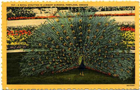 Strutting Peacock Lambert Gardens Portland Oregon Vintage Postcard (unused) - Vintage Postcard Boutique