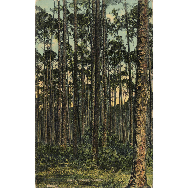 Piney Woods Florida Scenic Vintage Postcard 1914 - Vintage Postcard Boutique