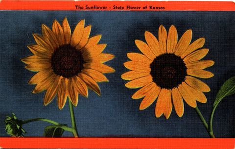 Kansas State Flower – Sunflower Vintage Botanical Postcard (unused) - Vintage Postcard Boutique