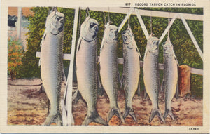 Record Tarpon Fish Catch in Florida Vintage Postcard 1959 - Vintage Postcard Boutique