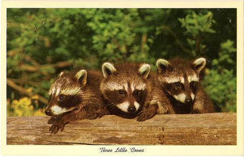Raccoon Babies – Three Little 'Coons Vintage Postcard (unused) - Vintage Postcard Boutique