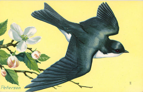 Tree Swallow National Wildlife Federation Songbird Series Vintage Bird Postcard (unused) SIGNED PETERSON