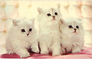 Three White Kittens – MusCATteers Vintage Postcard 1968 - Vintage Postcard Boutique
