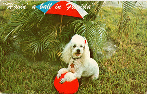 Poodle Playing With Ball Under Umbrella Vintage Postcard (unused)