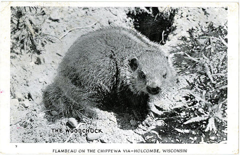 Woodchuck – Flambeau on the Chippewa Holcombe Wisconsin Vintage Postcard 1951