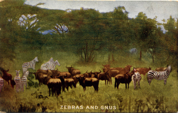 Zebras & Gnus on Roosevelt Tour Africa Vintage Postcard 1909 (unused) - Vintage Postcard Boutique