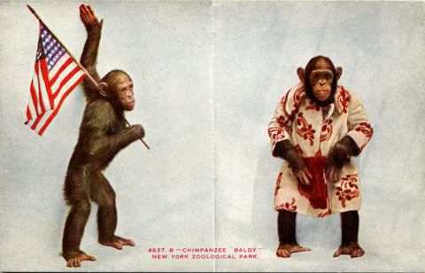 Patriotic Chimpanzee Baldy New York Zoological Park Bronx Zoo Postcard circa 1910 - Vintage Postcard Boutique