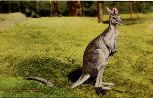 Great Gray Kangaroo New York Zoological Park Bronx Zoo Vintage Postcard circa 1910 (unused) - Vintage Postcard Boutique
