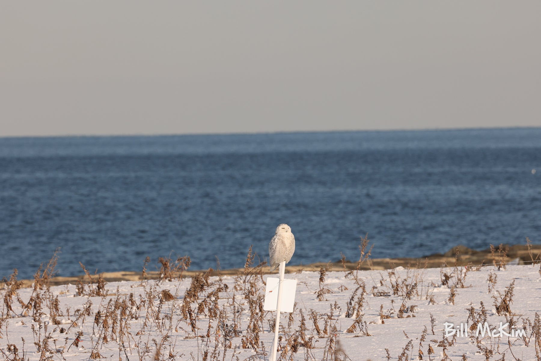 snowy owl beach new jersey 2021