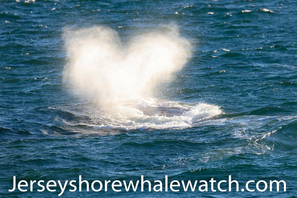 North Atlantic Right Whale, Jersey Shore Whale Watch 2020