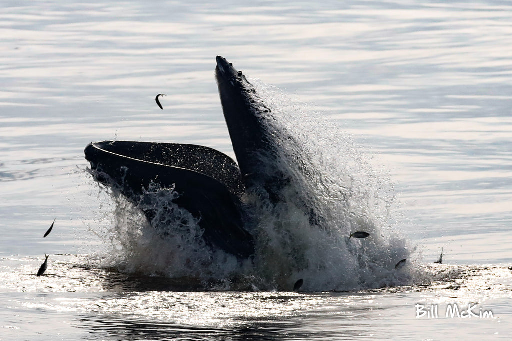 Humpback whale feeding on Menhaden in New Jersey Sandy Hook photo