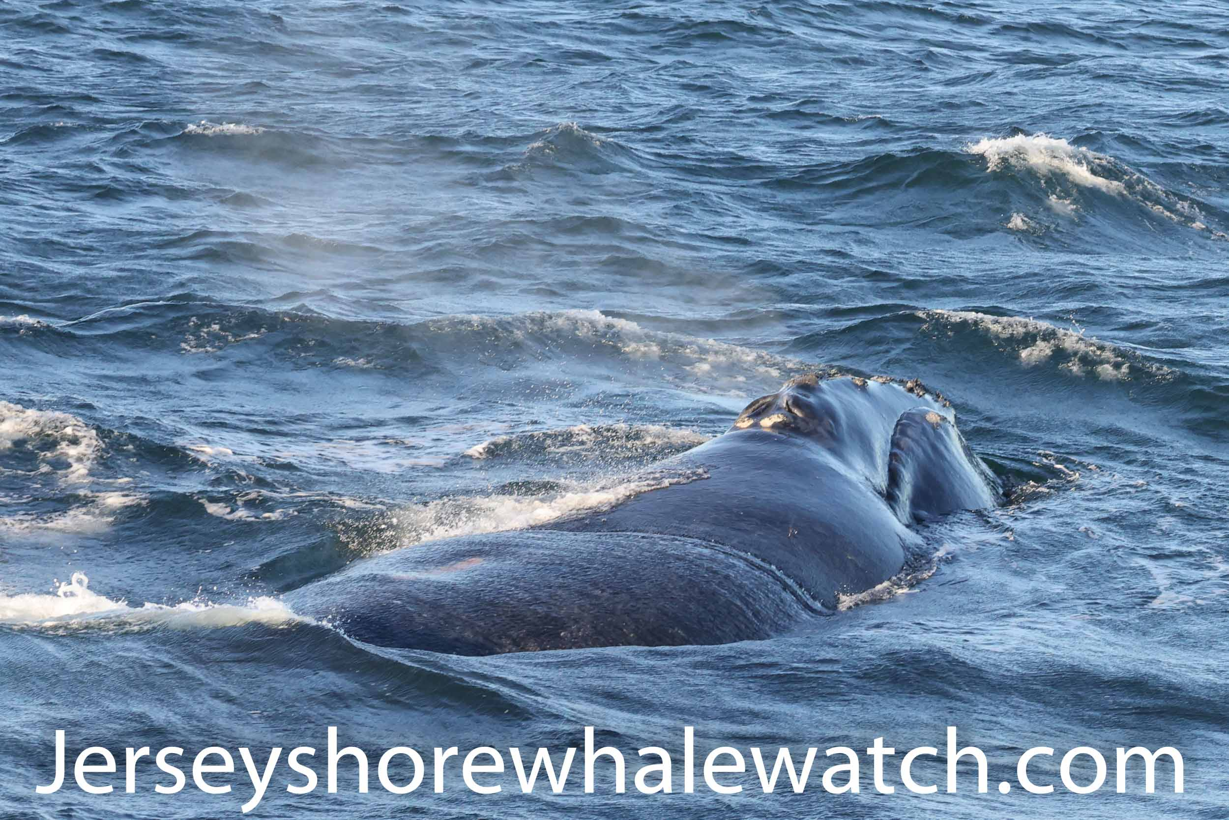 North Atlantic Right Whale New Jersey coast 2020 photos