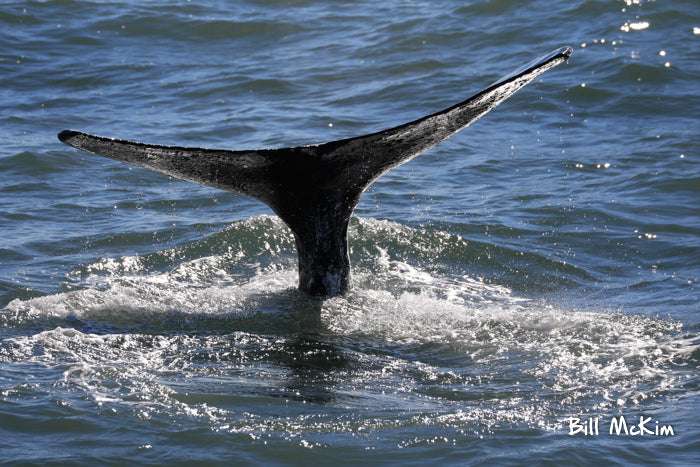 jersey shore whale watching tour tickets photos bill mckim