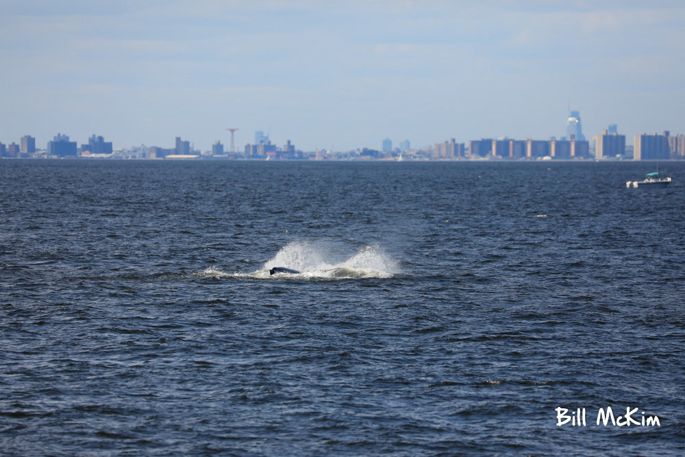 NYC as a backdrop whale watching