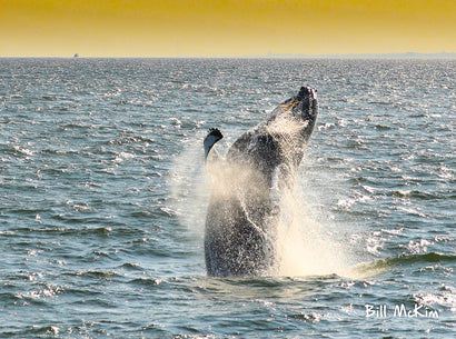 Bill McKim Photography -Jersey Shore whale watch tours