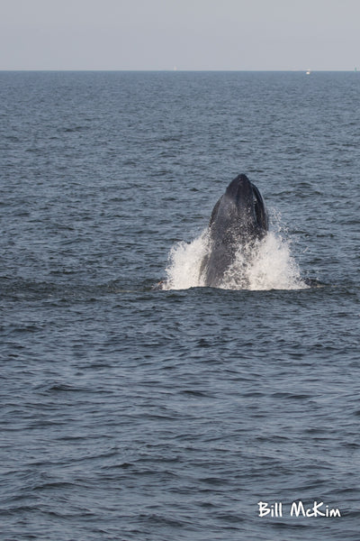 Jerey shore whale watch tour bill mckim belmar marina