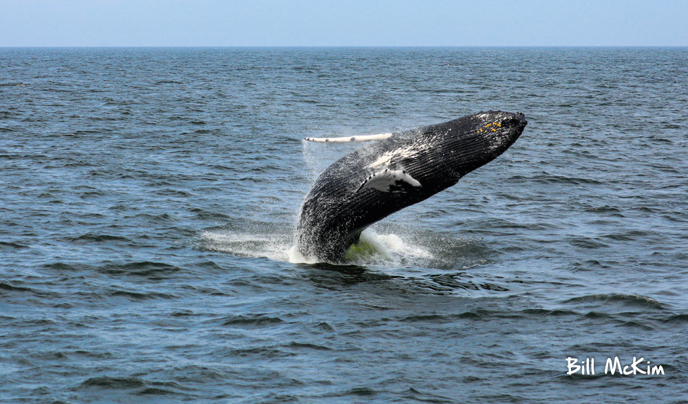 Jersey shore whale watching trip bill mckim