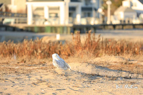 snowy owl in avon by the sea