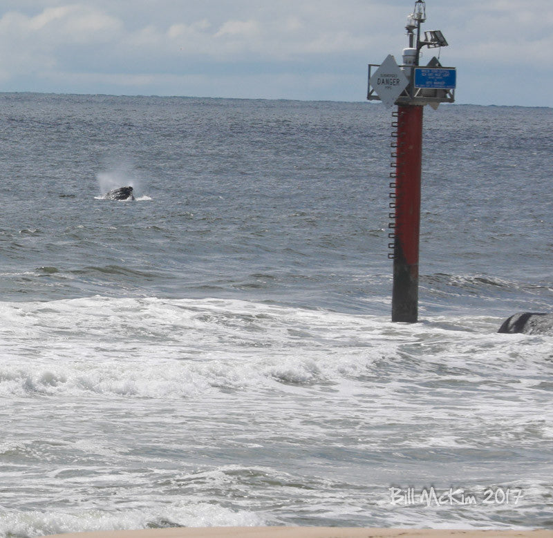 jersey shore whale sighting photo 2017 spring lake nj