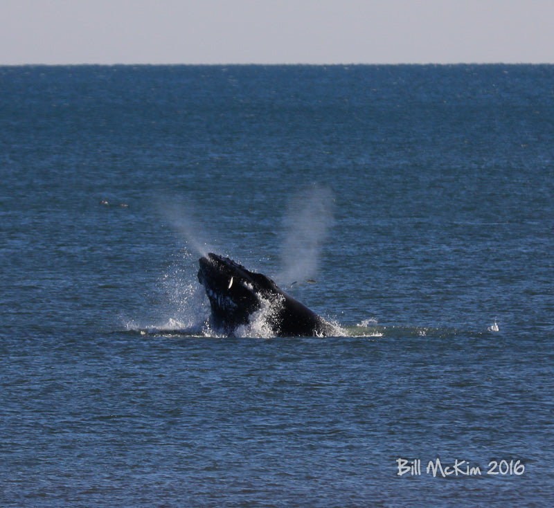 breaching whale jersey shore 2016