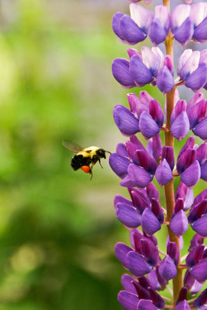 Bee Mine – Flowers for Wildlife, Life and Aromatherapy