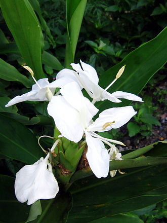 The Allure of White Ginger Lily