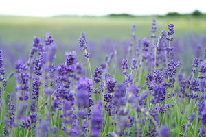 Field of Lavender blooming. Nature's Therapy formulated just for you by Mia's Botanicals. Photo courtesy of Pexels.