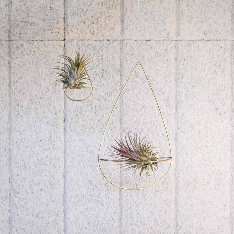 2 air plant holders in 2 sizes with plants handmade by clare kilgour in brass. made in the uk based jewellery designer