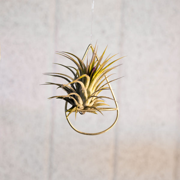 Small air plant holder with plant handmade by clare kilgour in brass. made in the uk based jewellery designer