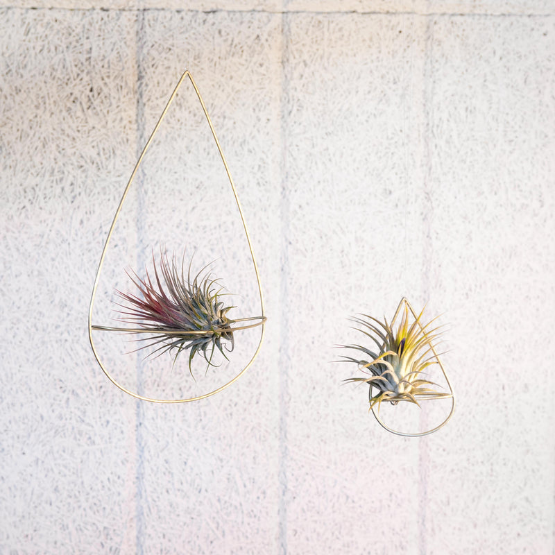 2 air plant holders in small and large with plants handmade by clare kilgour in brass. made in the uk based jewellery designer